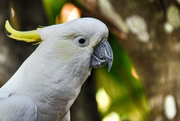cockatoo australia