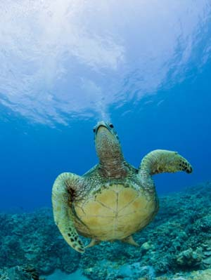 Green Sea Turtle Swimming (Chelonia Mydas), Marshall Islands, Pacific Ocean