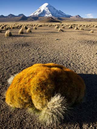 A Large Ball Cactus Survives on the Cold, Wind-Blown Altiplano I