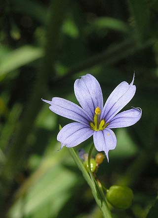 sisyrinchium flower