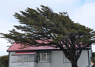 falkland island windblown tree