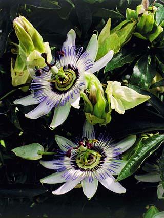 Close-Up of Blue Passion Flowers (Passiflora Caerulea)