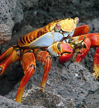 sally crab