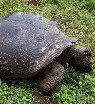 tortoise galapagos