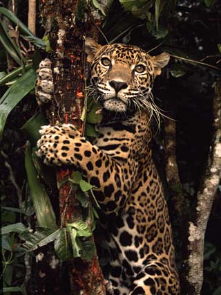 Jaguar Named Boo Climbs a Tree at the Belize Zoo