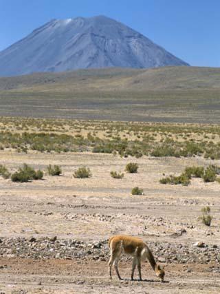 Vicuna Grazing on Altiplano Desert, El Misti Volcano Behind, Near Arequipa, Peru, South America